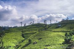 tea estate, nuwara eliya, srilanka (deeptipahwa) Tags: asia tea ella srilanka ceylon hillcountry kandy southasia teaestate nuwaraeliya teaplucker teapalntation