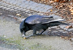 Time to put your foot down. (Alan Wiltcher) Tags: caw foot peanuts claw nutcracker crow greenwichpark aperturewoolwich