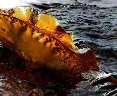 Kelp (g crawford) Tags: light orange sun seaweed clyde kelp crawford ayrshire seamill northayrshire westkilbride