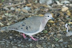 DSC_9216 (Bird Brian) Tags: eareddove