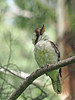 Laughing Kookaburra (Vas Smilevski) Tags: bird birds animals birding feathers australia bluemountains nsw kookaburra australianbirds australianwildlife dacelonovaeguineae laughingkookaburra halcyonidae mc14 olympusomdem1 mzuiko40150mmf28pro