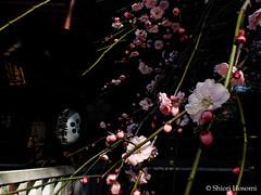 Prunus mume f. pendula (Shiori Hosomi) Tags: flowers plants japan tokyo february   prunus  rosales 2016 rosaceae