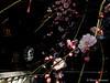 Prunus mume f. pendula (Shiori Hosomi) Tags: flowers plants japan tokyo february 花 植物 prunus 梅 rosales 2016 rosaceae ウメ バラ科 薔薇科 枝垂れ梅 調布市 シダレウメ サクラ属 枝垂梅 薔薇目 バラ目 桜属
