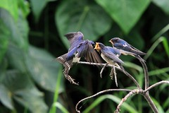 Feeding Baby Swallows (Alice 2017) Tags: green bird nature canon 500views swallow 2012 favorites20 canonef70200mmf4lisusm eos7d canoneos7d
