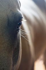 I've got my eye on you (ImagesByLin) Tags: portrait horse eye animal backlight canon dof eyelashes depthoffield