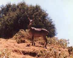 Female Mountain Nyala, Ethiopia (Animal People Forum) Tags: africa wild animals outside outdoor antelope ethiopia mammals nyala freeranging