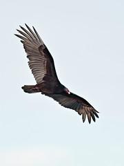 Turkey Vulture 20160211 (Kenneth Cole Schneider) Tags: florida miramar westbrowardwca