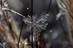 IMG_9234 (nitinpatel2) Tags: snowflakes marco patel nitin