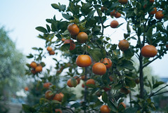 Mas Mandarinas (Palenquero Quercus agrifolia) Tags: leica manual 90mm f28 canon35mmf18ltm teleelmaritm leicam82 nikkorpc85mmf2