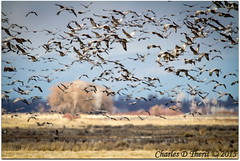 Just Crane Chaos (ctofcsco) Tags: 11250 56 7d 7dclassic 7dmark1 7dmarki 800mm canon colorado ef400mmf28liiusm ef400mmf28liiusm20x eos7d 2015 alamosa birds cranes explore explored geo:lat=3745997671 geo:lon=10614014486 geotagged image landscape migration montevista montevistanwr nationalwildliferefuge nature northamerica photo photograph picture spring wildlife wwwmvcranefestorg zinzer extender extender2x extender2xii f56 flying sanluisvalley sandhillcrane sandhillcranefestival sandhillcranes supertelephoto teleconverter telephoto unitedstates usa grus canadensis gruscanadensis best wonderful perfect fabulous great pic