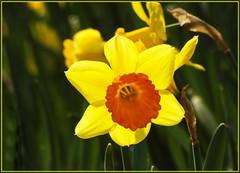 Sonnengelb, warten wir auf den Frühling ... (Kindergartenkinder) Tags: samsung frühling narzisse osterglocke kindergartenkinder