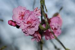 plum_20160213_5 (faeparsons) Tags: flowers blossoms plumblossoms