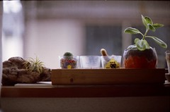 house plants (sencharlie) Tags: cactus plant film canon houseplant ae1 australia driftwood pottedplant koala tillandsia tokyotower filmcamera airplant shotglass guam    kalanchoepinnata