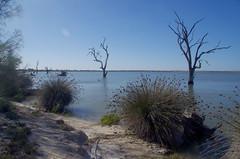 Juncus acutus, Pelican Point, Lake Bonney, near Barmera, SA, 15/02/16 (Russell Cumming) Tags: plant weed southaustralia juncus barmera renmark juncaceae lakebonney juncusacutus pelicanpt