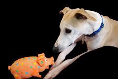Piggy (DiamondBonz) Tags: orange dog pet pig hound whippet spanky dogchal