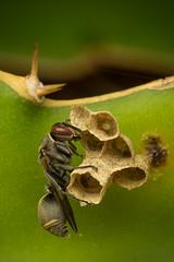 Wasp in care :) (Mika Andrianoelison) Tags: macro nature fauna wasp nest wildlife insects bugs eggs madagascar larva invertebrate arthropod k3 justpentax