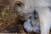DSC_2974WM (Linda Smit Wildlife Impressions) Tags: cats white nature animal cat mammal photography big nikon outdoor african wildlife birth lion d750 cubs endangered lioness bigcats cecil carnivore lioncubs givingbirth