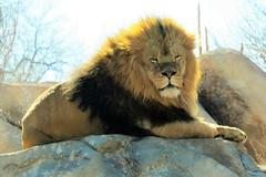 Sango (Patricia Henschen) Tags: zoo colorado lion denver denverzoo citypark denvercolorado southafrican sango