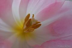 Die kleine Welt in einer Tulpe (Sockenhummel) Tags: pink flower macro fuji blossom rosa finepix tulip fujifilm x30 tulpen tulpe fujix30