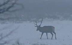 Cerf élaphe - DSC02748 (6franc6) Tags: hiver explore neige brume faune 2011 isère décembre 6franc6
