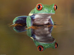 Reflection (susie2778) Tags: flash olympus frog captive redeyedtreefrog 60mmmacrof28 captivelight omdem5mii