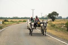 farming (mathias.schalk) Tags: travel tractor kuh cow reisen asia asien rice farm farming reis sri lanka khe reise ernte anbau