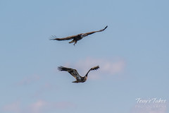 Juvenile Bald Eagle tries to steal away a fish - sequence - 1 of 9