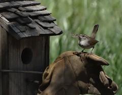 Bewick's Wren--Thryomanes bewickii (Polioptila caerulea) Tags: bird songbird bewickswren thryomanesbewickii wrennestbox streeterrd california bewr nevadacountybreedingbirdatlas passerine thryomanes wren nevadacounty