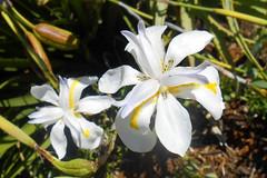 Irises (RobW_) Tags: africa flowers march south hydro western cape thursday stellenbosch irises 2016 03mar2016