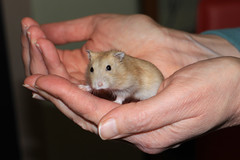 RIP Tiny Little Man (zeity121) Tags: pet rodent hamster dwarfhamster dwarfrussian dwarfrussianhamster