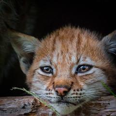 9 weeks old tired lynx cub (nemi1968) Tags: portrait animal closeup cat canon nose eyes ngc august npc lynx gaupe langedrag 9weeksold markiii catfamily eurasianlynx lynxcub ef100400mmf4556lisusm specanimal lynxkitten canon5dmarkiii