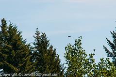 RedTail Hawk21_DSC5218.jpg (orig_lowolf) Tags: usa bird oregon nikon flickr hawk crows frontyard attacking lakeoswego d300s sigma150500mmf563afapodgoshsmtelephotozoom