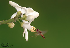 Nature (TARIQ HAMEED SULEMANI) Tags: flowers flower nature floral flora bee honeybee tariq sulemani