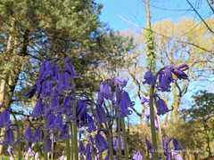 Bluebells at Clyne Gardens, Swansea 2016 04 20 #12 (Gareth Lovering Photography 2,000,000 views.) Tags: flowers gardens bluebells wales olympus lovering clyne clyneinbloom swanseainbloom