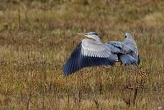 Flight  of  the  grey  heron , envol du héron  cendré ... (jymandu) Tags: vol oiseaux héron