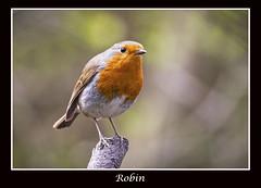 Robin (cconnor124) Tags: nature birds robins canoneos smallbirds wildbirds birdphotography uknature canon100400lens canon760d