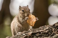 Squirrel (Saeed Lajami) Tags: india animal canon squirrel wildlife karnataka in bengaluru