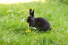 Zuzu vs Dandilion (Tjflex2) Tags: cute rabbit bunny animal zuzu