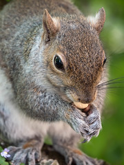 Gourmand (Gilles83100) Tags: park wood wild torino squirrel wildlife it piemonte parc italie cureuil gx8