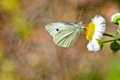 Cabbage White Butterfly (deanrr) Tags: nature butterfly spring backyard bokeh outdoor alabama butterflyonflower 2016 cabbagewhitebutterfly morgancountyalabama