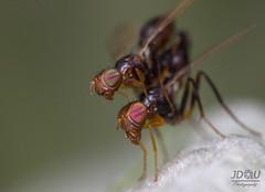 Dos mosquitos en accin. (Juan Diego Q U) Tags: insectos macro animals ojos animales bichos mosquitos mosco macrofotografa