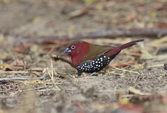 Red Throated Twinspot (arden.james@ymail.com) Tags: kafue twinspot redthroatedtwinspot