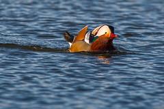 Mandarin Duck (Stephen J Pollard (Loud Music Lover of Nature)) Tags: bird duck ave pato mandarinduck aixgalericulata patomandarn