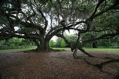 Canon206473 (godrudy6661) Tags: neworleans audubonpark treeoflife oaktrees