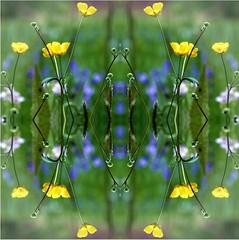 2016-04-27 boutons d'or symtriques (april-mo) Tags: art experimental symmetry symmetric experimentalphoto experimentaltechnique