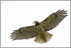 """Mom"" (Christian Hunold) Tags: bird philadelphia mom hawk raptor urbanwildlife redtail birdofprey redtailedhawk buteojamaicensis eakinsoval rotschwanzbussard urbanhawk christianhunold"