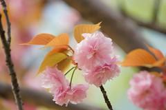 /Prunus Verecunda'Antiqua' (nobuflickr) Tags: flower nature japan botanical kyoto the  garden  prunusverecundaantiqua 20160416dsc07348