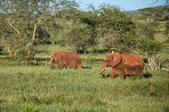 Safari, Elephants (robseye76) Tags: africa park holiday elephant kenya safari national elephants vacations kenia tsavo wakacje afryka