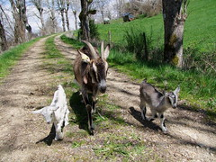 Un, deux, trois... (Grand-Papp, charrette...) Tags: goats auvergne cabras chvre massifcentral chevreaux hauteloire margeride chabre hautesterres lobe marjarida chabrit