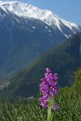 photo 3 (luka116) Tags: fleur suisse branson avril valais 2016 anacamptis anacamptismorio orchidaces follateres lesfollateres